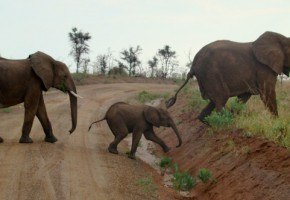 Elephants on a safari in Uganda I @SatuVW I Destination Unknown