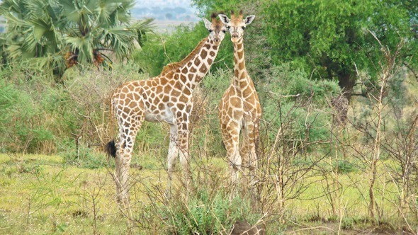 Giraffes on a safari in Uganda I @SatuVW I Destination Unknown