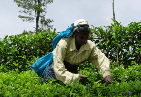Tea picking in Haputale Sri Lanka