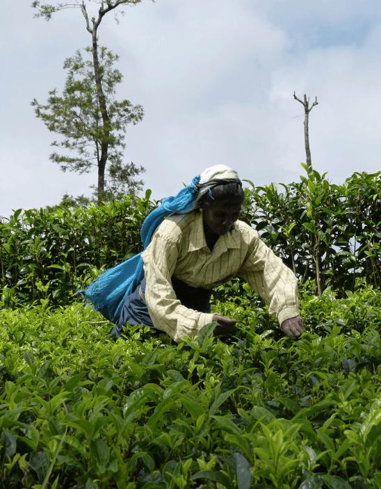 Tea picking in Haputale Sri Lanka