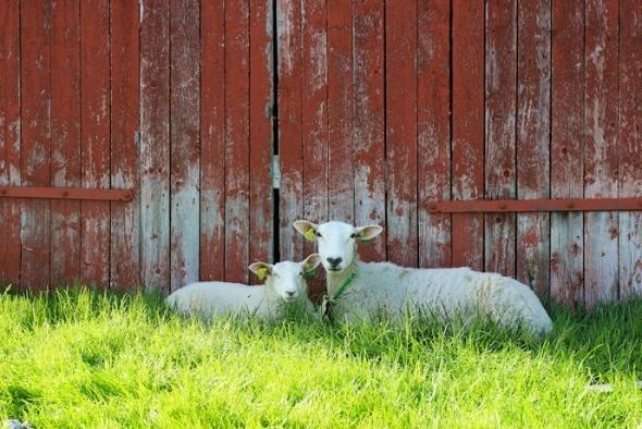 Norwegian sheep I @SatuVW I Destination Unknown