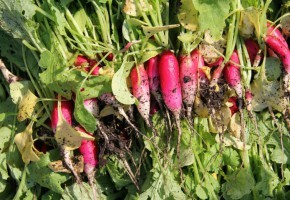Old Edwards Inn and Spa grows many types of radishes in its garden