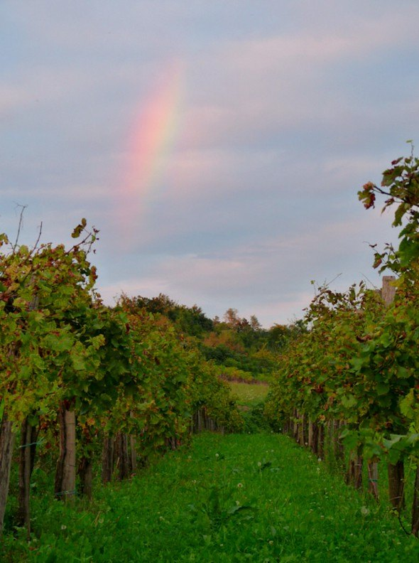 Vineyard at Sunset in Vipava