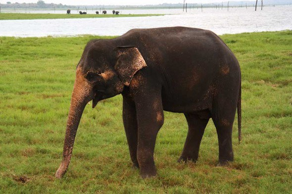 Up close with the elephants in wild at the Kadulla national park in Sri Lanka.