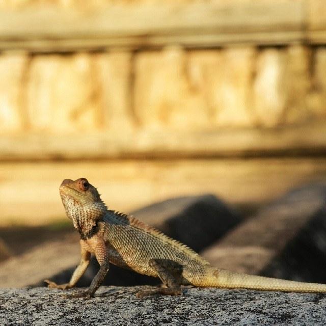 sri lanka lizard in temple