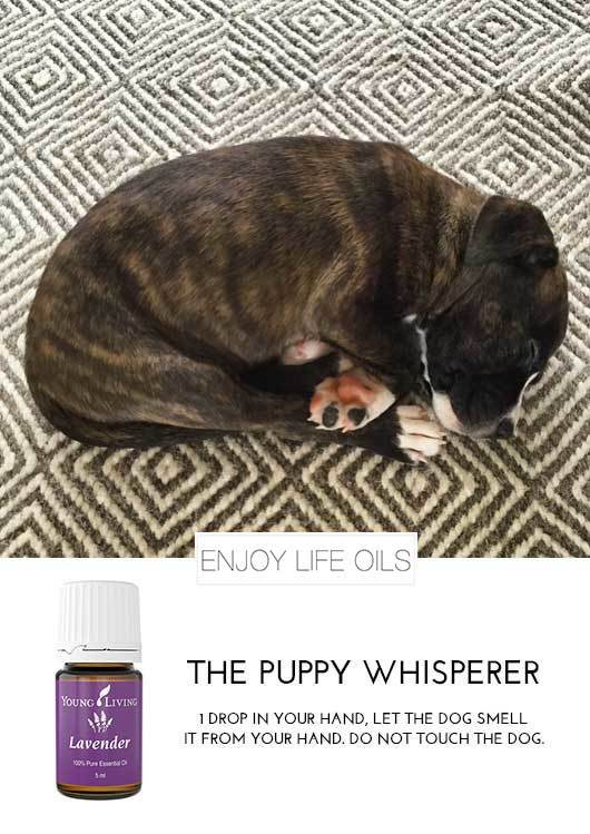 Lavender Essential Oil works calming dogs.