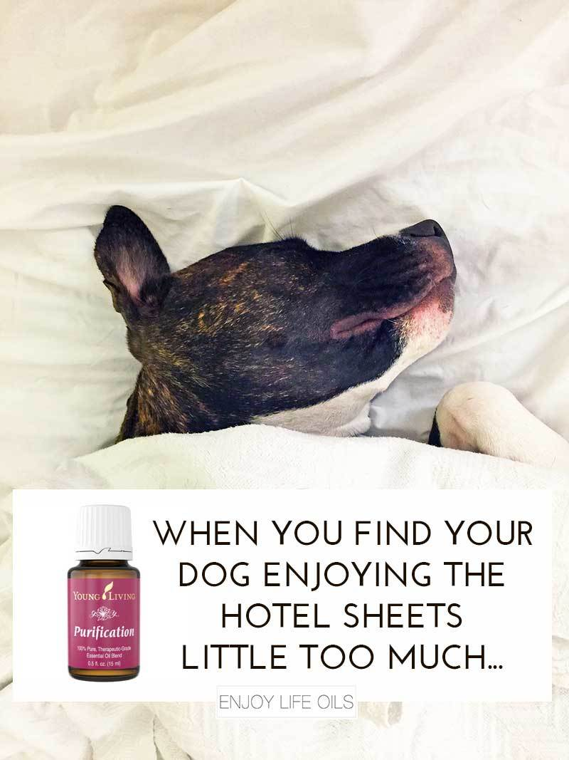 Purification essential oils helps eliminating dog smells! Great to bring for travels with a cheap water spray bottle. Just add 5-8 drops in the spray bottle of water and spray in your hotel room. Via @skimbaco @enjoylifeoils