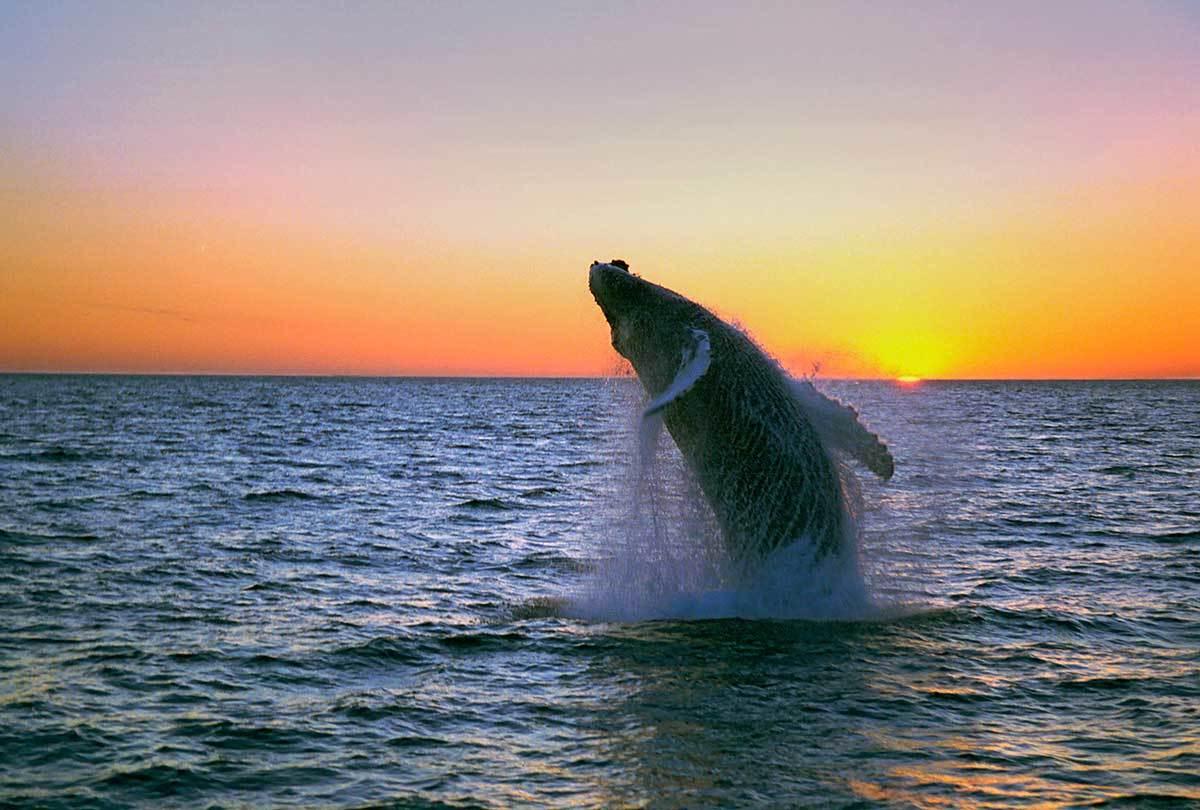 humpback-midnight-jump-iceland