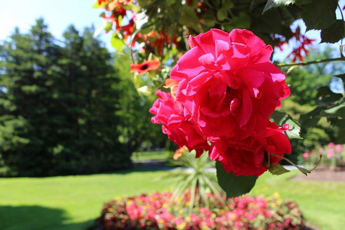 halifax-public-gardens-rose